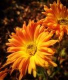 De bloemen van de herfst Vector vakantiekaart Royalty-vrije Stock Foto's