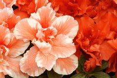 De bloemen van de hibiscus Royalty-vrije Stock Foto