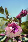 De Bloemen van de Hoorn des overvloeds van de doornappel   stock afbeeldingen