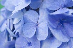 De bloemen van de hydrangea hortensia Stock Afbeeldingen