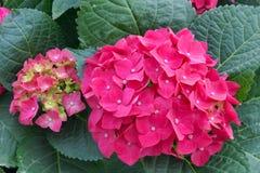 De bloemen van de hydrangea hortensia Royalty-vrije Stock Afbeeldingen