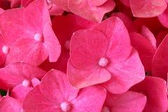 De bloemen van de hydrangea hortensia Stock Foto's