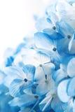 De bloemen van de hydrangea hortensia Royalty-vrije Stock Foto