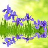 De bloemen van de iris Stock Fotografie