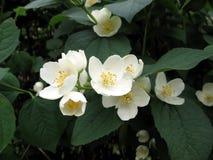De bloemen van de jasmijn Royalty-vrije Stock Fotografie