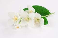 De bloemen van de jasmijn stock afbeeldingen