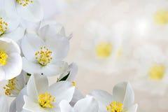 De bloemen van de jasmijn Stock Foto's