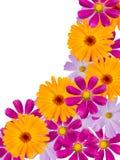 De bloemen van de kamille Stock Foto