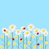 De bloemen van de kamille met onzelieveheersbeestjes op blauwe rug Stock Afbeeldingen