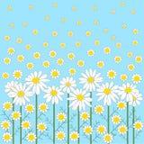 De bloemen van de kamille op een blauwe achtergrond Royalty-vrije Stock Afbeelding
