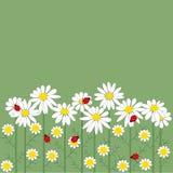 De bloemen van de kamille op groene achtergrond Royalty-vrije Stock Afbeeldingen