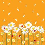 De bloemen van de kamille op oranje achtergrond Royalty-vrije Stock Foto