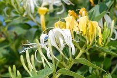 De bloemen van de kamperfoelie Royalty-vrije Stock Afbeeldingen