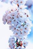 De Bloemen van de kers Stock Foto's