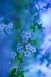 De Bloemen van de kers Royalty-vrije Stock Afbeelding