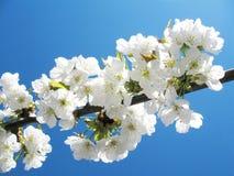 De bloemen van de kers Royalty-vrije Stock Afbeeldingen