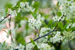 De bloemen van de kersenboom, de groene zomer, royalty-vrije stock foto