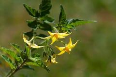 De bloemen van de kersentomaat Stock Foto's