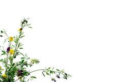 De bloemen van de klaver Stock Afbeelding