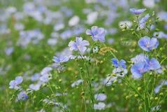 De bloemen van de knol Stock Foto