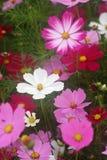 De bloemen van de kosmos Royalty-vrije Stock Fotografie