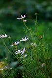 De bloemen van de kosmos Stock Foto