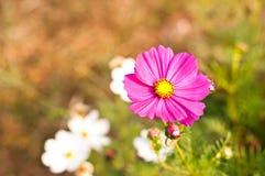 De bloemen van de kosmos Stock Foto's
