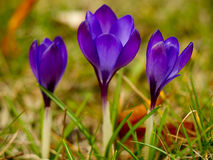 De bloemen van de krokus Stock Afbeelding
