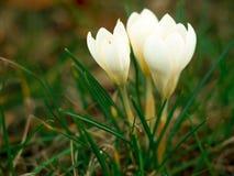 De bloemen van de krokus Stock Fotografie