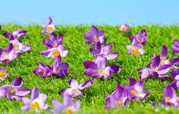 De Bloemen van de krokus royalty-vrije stock foto's