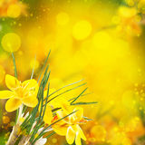 De bloemen van de krokus Royalty-vrije Stock Afbeelding