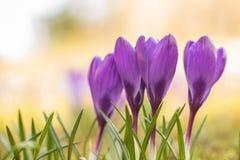 De bloemen van de krokus in de zonneschijn van de Lente stock afbeelding