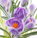 De bloemen van de krokus op wit stock foto's