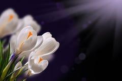 De Bloemen van de krokuslente Stock Afbeeldingen