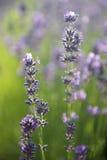 De Bloemen van de lavendel stock afbeeldingen