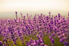 De bloemen van de lavendel Stock Foto's