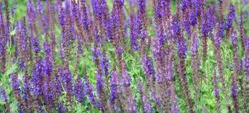 De bloemen van de lavendel in de tuin royalty-vrije stock afbeeldingen