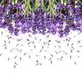 De bloemen van de lavendel die op wit worden geïsoleerdr Bloemen achtergrond stock foto's