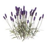 De bloemen van de lavendel op wit vector illustratie