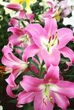 De bloemen van de lelie Royalty-vrije Stock Foto