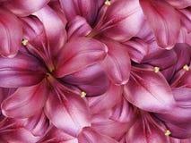 De bloemen van de lelie Heldere roze achtergrond bloemencollage De samenstelling van de bloem Royalty-vrije Stock Fotografie