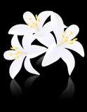 De bloemen van de lelie op zwarte backgound Stock Afbeeldingen