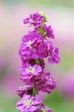 De bloemen van de lente Royalty-vrije Stock Afbeelding