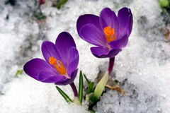 De bloemen van de lente. Royalty-vrije Stock Foto
