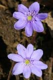 De bloemen van de lente in een tuin. Stock Afbeelding