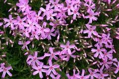De bloemen van de lente in een tuin. Royalty-vrije Stock Afbeeldingen