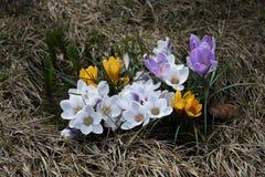 De bloemen van de lente - krokussen Royalty-vrije Stock Foto's