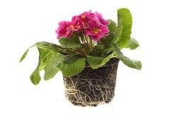 De bloemen van de lente met wortelsysteem royalty-vrije stock afbeeldingen