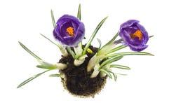 De bloemen van de lente met wortelsysteem stock afbeeldingen