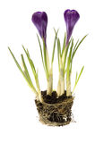 De bloemen van de lente met wortelsysteem royalty-vrije stock foto's